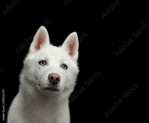 Close-up Head of peeking Siberian Husky Dog with blue eyes on Isolated Black Background, Front view Wall mural