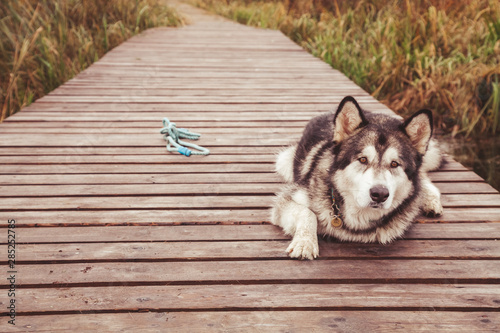 Valokuva  sick old big dog cripple malamute without paw lying alone outdoors
