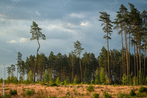 Fototapeta Area of deforestation of vegetation in the pine forest. Vast empty fields by the forest. Concept of forest felling, wood problem, ecology obraz na płótnie