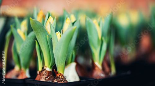 Papiers peints Tulip Tulip bulbs sprouted in wooden box flower shop
