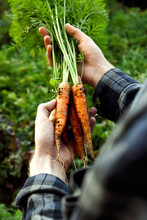 Bunch Of Freshly Picked Organic Homegrown Carrot In Men's Farmer Hand On A Vegetable Garden Close-up.Rustic Style.Healthy Food Concept.Vertical Orientation
