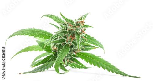 Vászonkép Fresh Medical marijuana isolated on white background