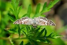 White Checkered-Skipper Butterfly (Pyrgus Albescens)