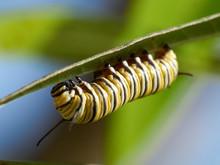 A Monarch Butterfly Caterpillar (Danaus Plexippus) On Milkweed Macro