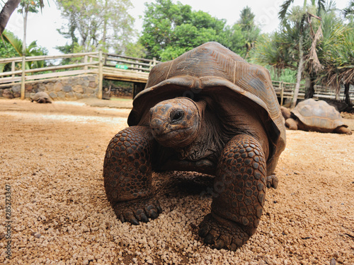 Fotografie, Obraz  Big Aldabra giant tortoise in Mauritius.