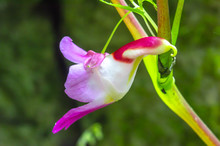 Parrot Flower, Impatiens Psittacina, A Flower Looklike A Parrot Bird ,Chiang Dao Wildlife Sanctuary, Chiang Mai, Thailand