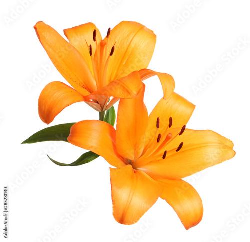 Stampa su Tela Beautiful fresh orange lilies on white background