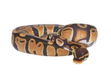 Royal Python Python Regius Iso...