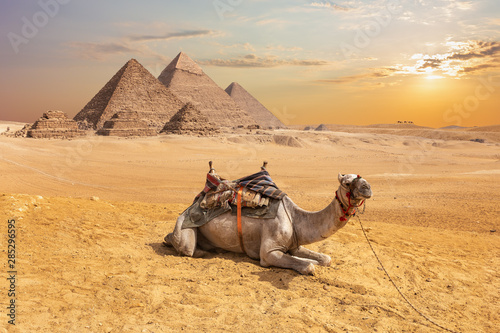 Recess Fitting Beige Cute camel in front of the Egyptian Pyramids, Giza desert