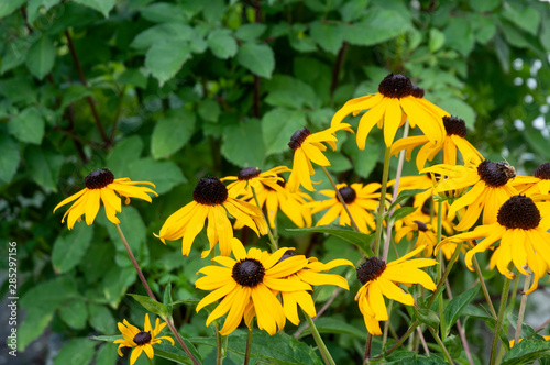 Fotografia, Obraz  black-eyed susans in flower bed in summer garden