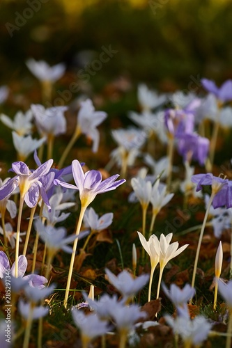 Foto op Canvas Krokussen Flower garden with crocus pulchellus zephyr