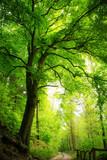 Fototapeta Las - Majestic tree in green forest