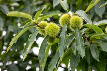 Tree Spanish Chestnut  (Castanea Sativa)