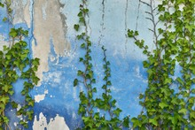 Green Ivy On A Blue Wall With ...