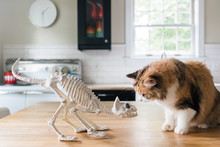 Curious Cat Looking At A Cat Skeleton.