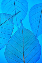 Delicate Clear Leaves With A Natural Pattern Of Veins On A Blue Background. Close-up View.