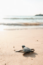 Baby Turtle On Sand Beach Going In Water Ocean
