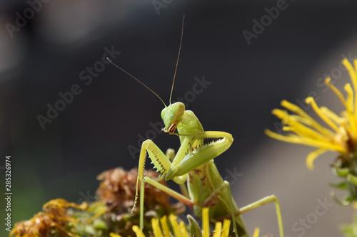 Obraz na plátně  The female mantis religios. Predatory insects mantis