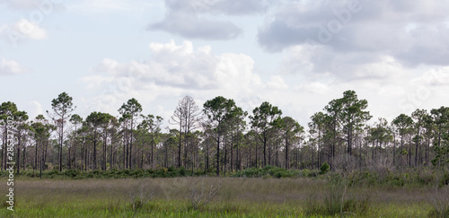 Pine Flatwoods in Central Florida