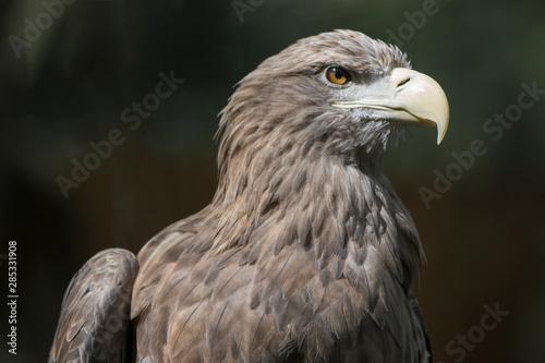 Garden Poster Parrot European White-tailed Eagle (Europäischer Seeadler, Haliaeetus albicilla)