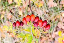 Red Ripe Briar Berries, Macro ...