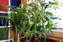 Indoor House Plant, Ponytail P...