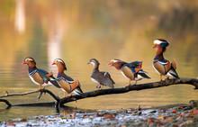 Mandarin Ducks On A Branch (4 ...