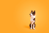 Fototapeta Zwierzęta - Border Collie Dog on Isolated Yellow Colored Background