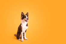 Border Collie Dog On Isolated Yellow Colored Background
