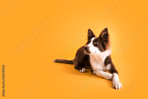 Border Collie Dog on Isolated Yellow Colored Background - 285349533