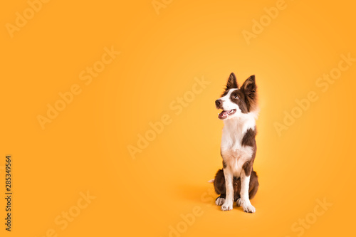 Border Collie Dog on Isolated Yellow Colored Background - 285349564