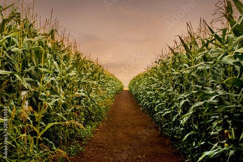Obraz na plátně  Rows of fresh corn plants on a field with beautiful warm sunset light and vibran
