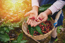 Red Coffee Beans In Farmer Hand