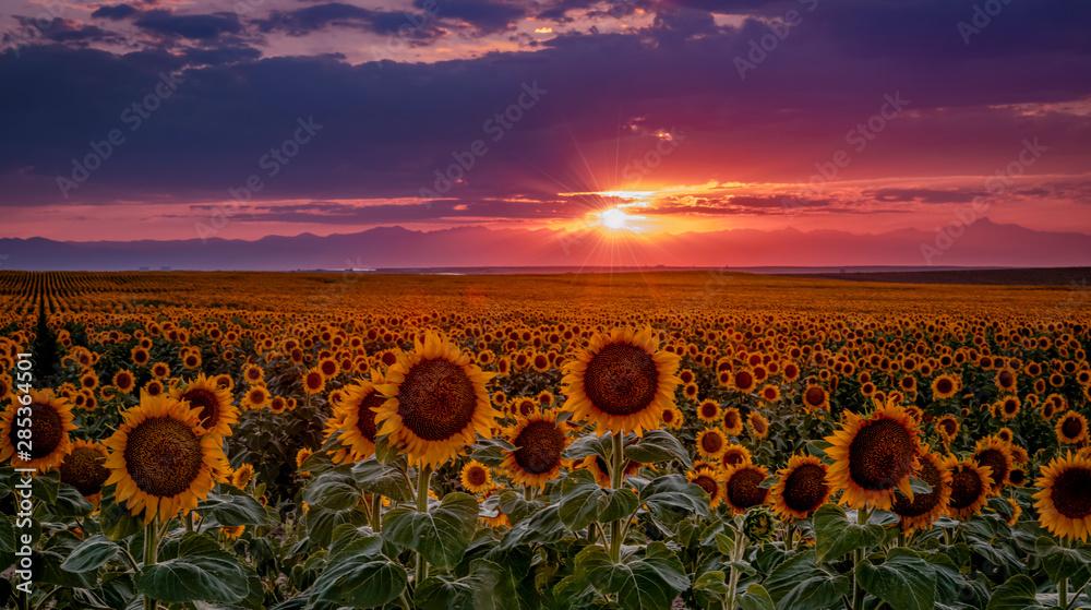 Fototapety, obrazy: Colorado Sunflower Fields on the eastern plains near DIA