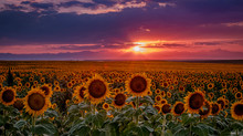 Colorado Sunflower Fields On T...
