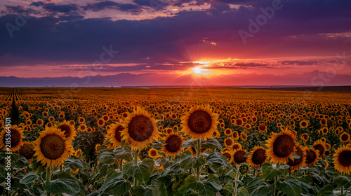 Colorado Sunflower Fields on the eastern plains near DIA