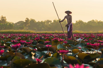 The Asian men villagers are on a wooden boat. Fishing in red lotus pond The fishing equipment is fish..