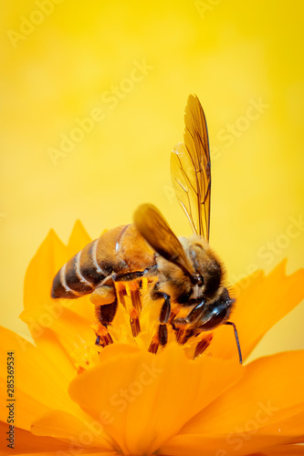 Recess Fitting Bee Image of little bee or dwarf bee(Apis florea) on yellow flower collects nectar on a natural background. Insect. Animal.