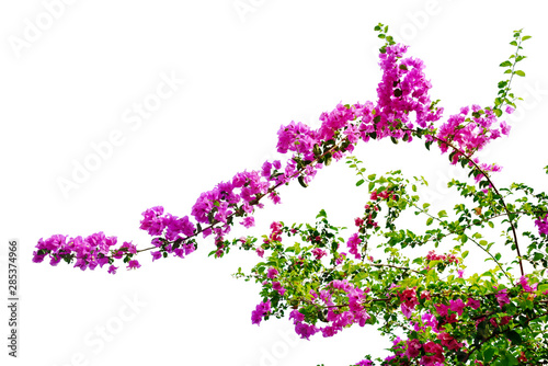 Papel de parede Pink bougainvillea flower isolated on white background