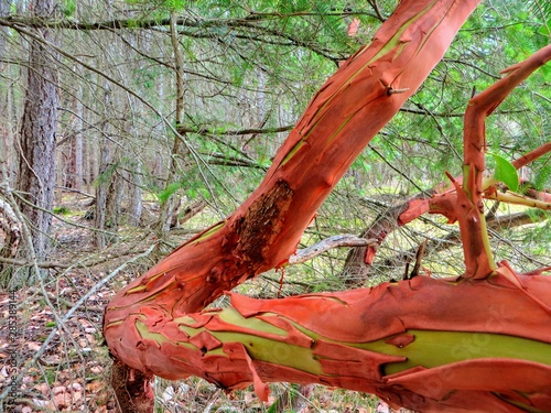 A closeup view of a branch of the arbutus tree, or Arbutus menzeisii or pacific Canvas Print