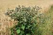 Dziko rosnące zioła i chwasty jak Ostrożeń polny (Cirsium arvense) wśród pól w porannym ciepłym dniu tworzą niezapomniany widok