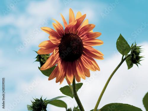 Fotomural Gros plan sur une fleur de tournesol décoratif aux pétales jaune bronzé sous un