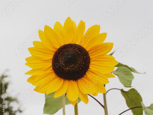 Vászonkép Gros plan sur une fleur de tournesol décoratif aux pétales jaune doré (Helianthu