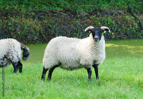 Suffolk sheep, a British breed of domestic sheep, in a field in the Netherlands Fototapete