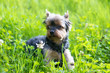 canvas print picture - Yokshire Terrier for a walk in the grass. little dog. a pet .