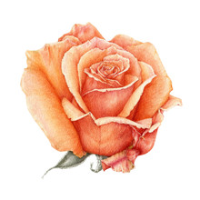 Watercolor Illustration Of A Orange Beautiful Rose. Peach Hand Drawn Botanical Flower In The Full Bloom. Isolated On White Background. Perfect For Greeting Cards, Invitations And Decoration