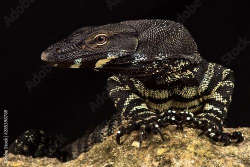 Photo  Lace monitor (Varanus varius)