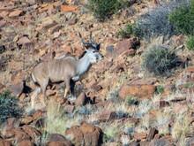 Kudu On Mountainside