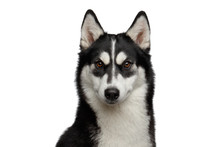 Portrait Of Siberian Husky Dog With Funny Eyebrows Gazing On Isolated White Background