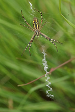 The Underside View Of A Hunting Female Wasp Spider, Argiope Bruennichi, On Its Web In The Grass In A Meadow.